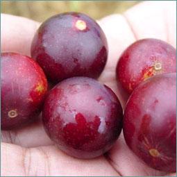 Contre les affections virales ou bactériennes, la vitamine C du camu camu